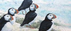 Glancing Back, Puffins, watercolor