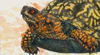 I Spy..., Box Turtle, watercolor